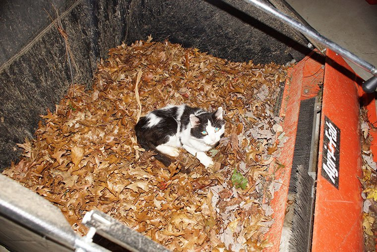 """This is """"Buddy"""", one of Dave's cats, resting comfortably in the gathered leaves"""